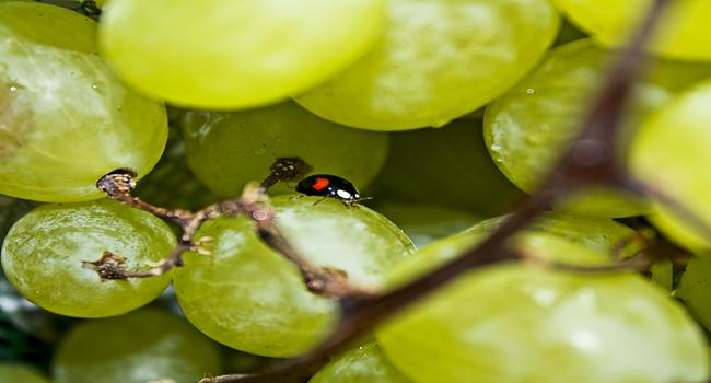 La festa della piadina e dell'uva