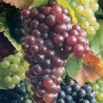 Sagra provinciale dell'uva