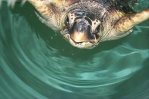 rilascio tartarughe adriatico
